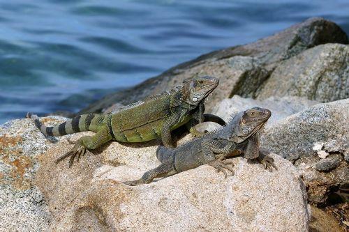aruba lizard sea