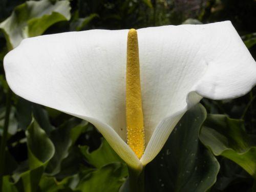 arum flower white