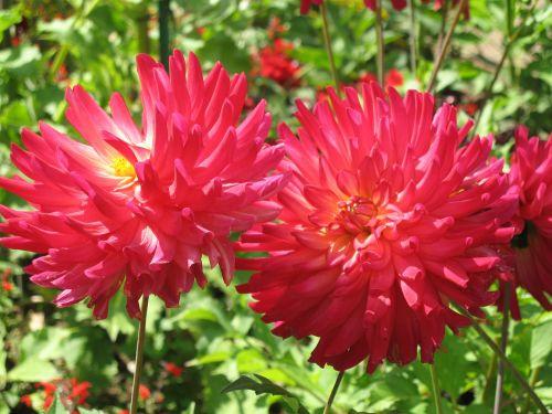 as lien red flower garden