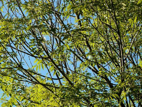 pelenai,medis,lapai,filialai,žalias,bendri pelenai,įprasti pelenai,aukštas pelenai,fraxinus excelsior,lapuočių medis