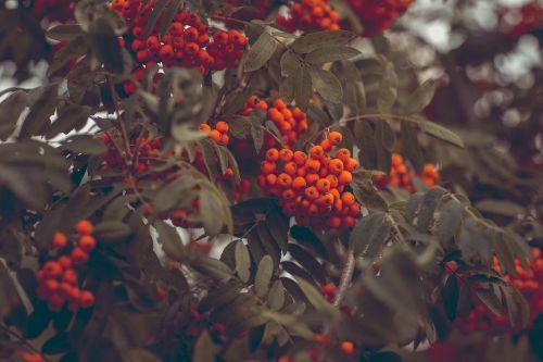 pelenai,paprastosios gervuogės,kalnų pelenai,estetinis,lapai,uogos,oranžinė,daug