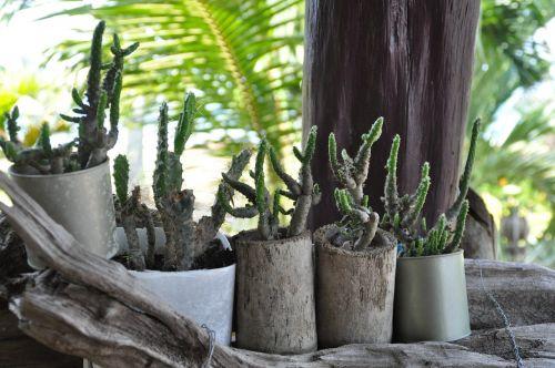 asija,Tailandas,kaktusas