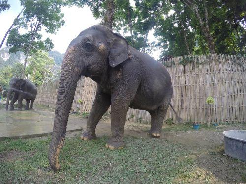asija, Tailandas, dramblys