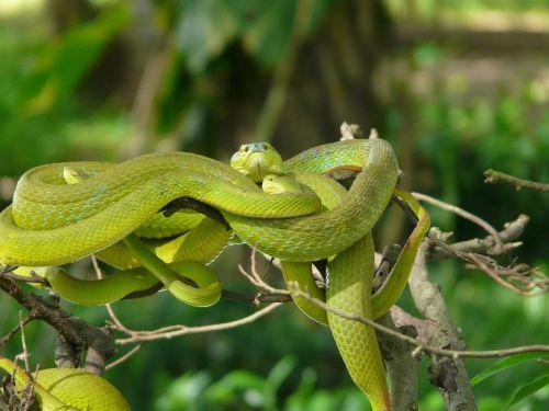 asia snakes fear