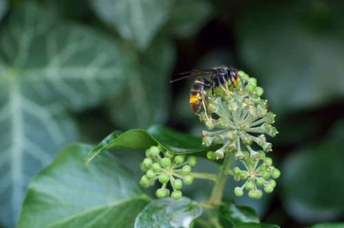 asian hornet vespa velutina insect