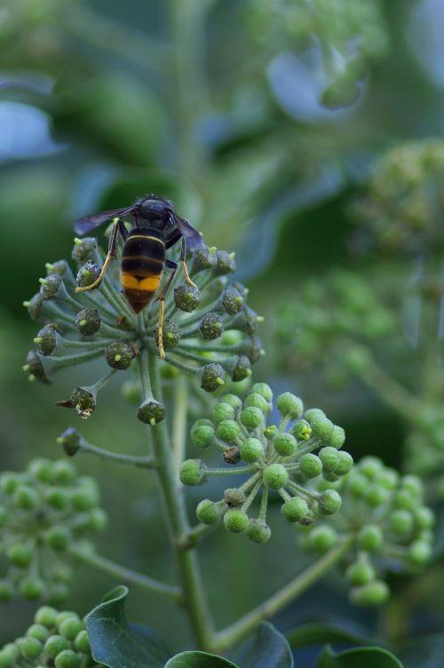 asian hornet vespa velutina invasive species