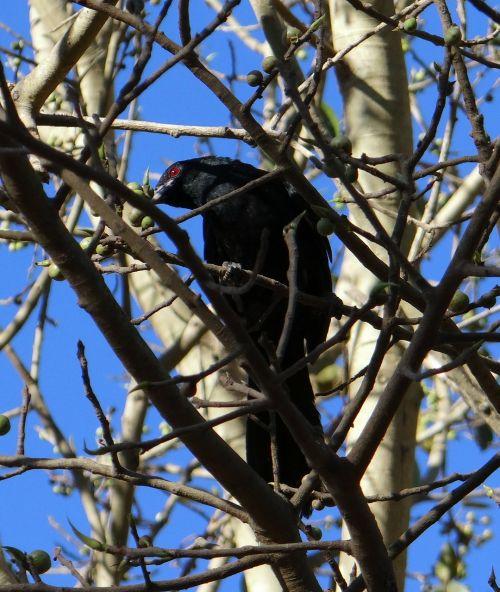 asian koel eudynamys scolopaceus bird