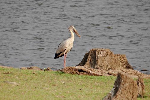 asian openbill asian openbill stork anastomus oscitans