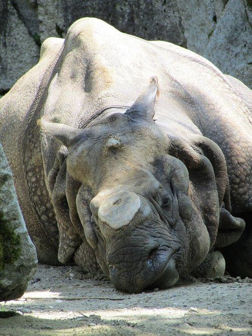 asian rhinoceros  animal park hellbrunn  rhino