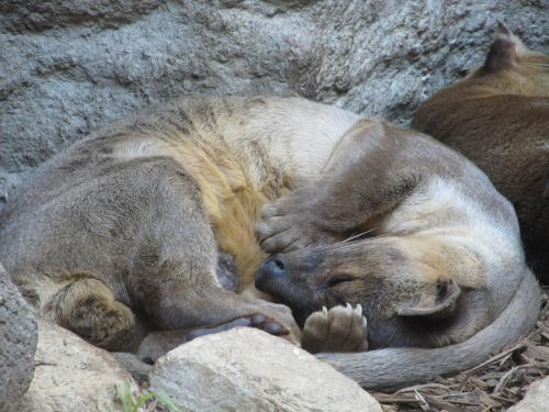 asian small clawed otter sleeping close-up