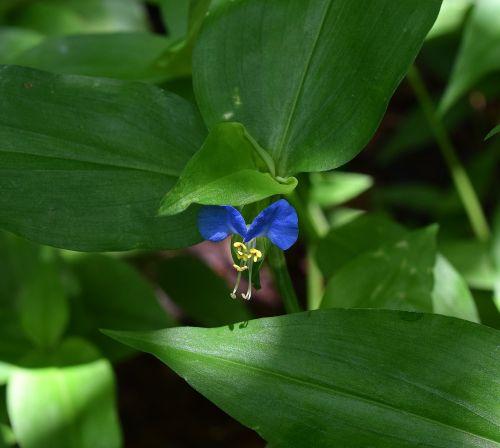 asiatic dayflower commelina communis wildflower