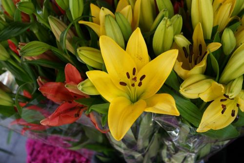 asiatic lily buds blossom