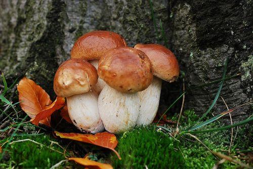 asked porcini mushrooms mushroom
