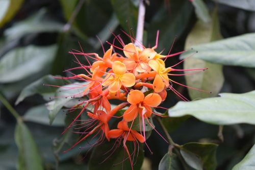 asoka flower saraca indica