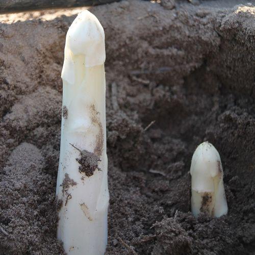 asparagus harvest vegetables