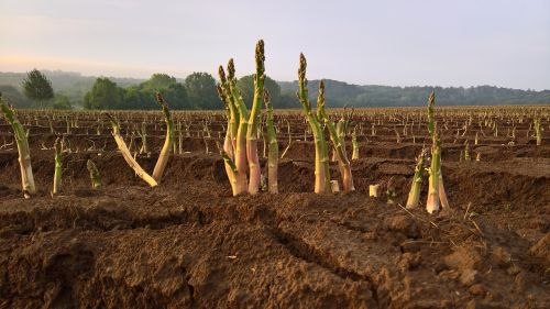 asparagus vegetables agriculture
