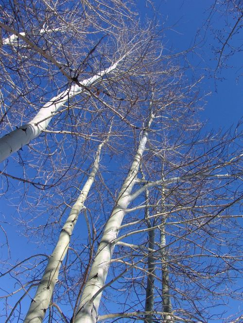 aspen aspen trees winter