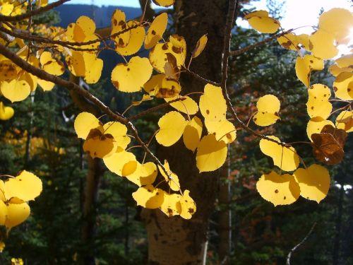 aspen trees leaf