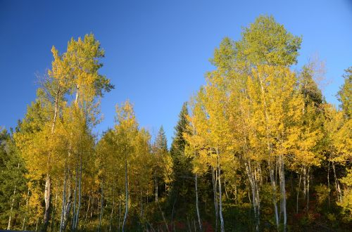 aspen aspen trees color change