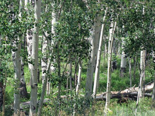 aspen birch forest