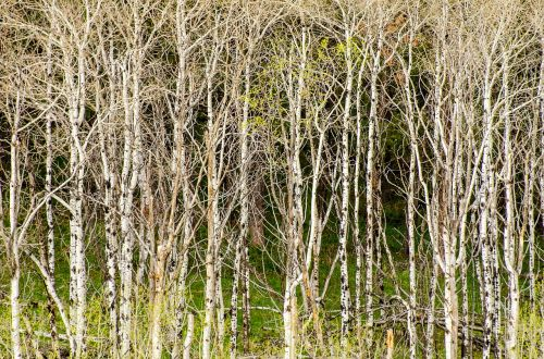 aspen trees tree grove background