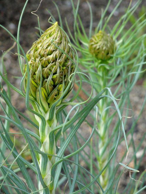 asphodeline lutea botanical