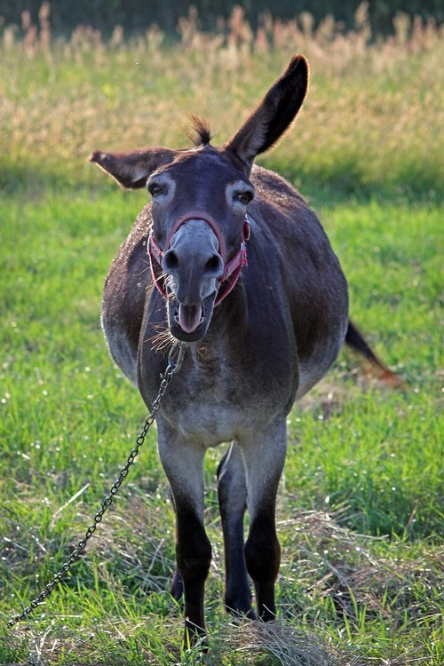 ass  donkey  roar