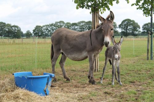 ass foal pet