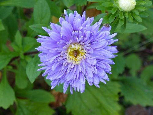 aster autumn flower