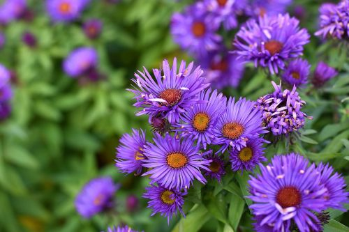 aster smooth aster aster laevis