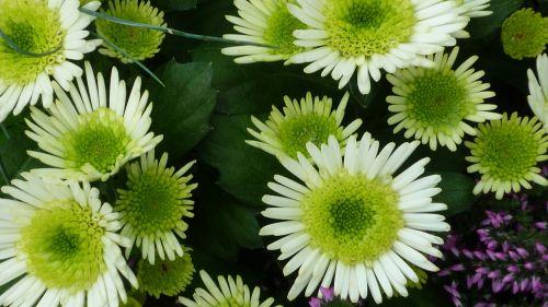 aster flower white