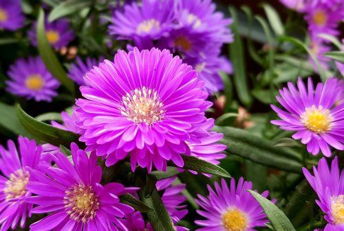 aster herbstaster flowers