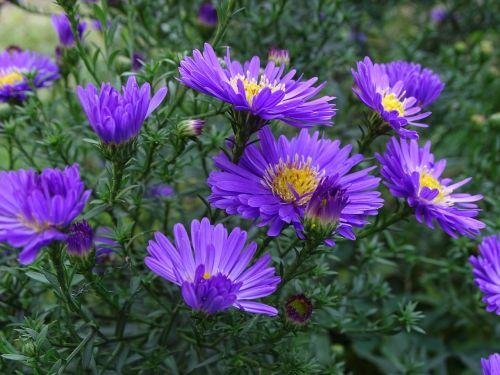 aster herbstaster purple