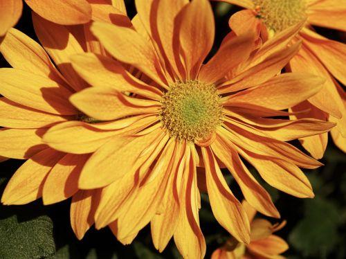 aster autumn autumn-flowers