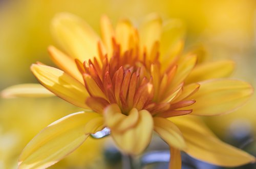aster  flower  yellow