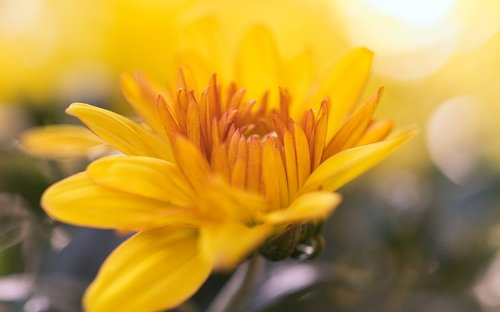 aster  yellow  bright