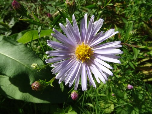 aster  aster amellus  flower