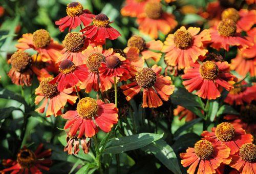 aster,asteraceae,gėlė,gėlių,žiedas,sodas,sodininkystė,spalvinga