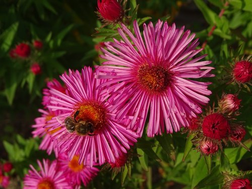 aster  aster amellus  bee