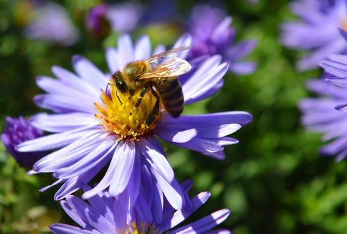 aster  bee  nature