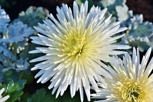 aster  white aster  bloom