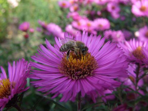 aster bee herbstaster
