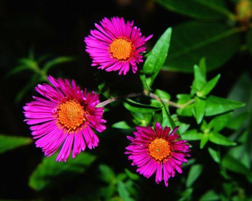 aster herbstaster flower