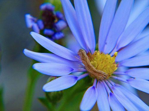 aster flower blue