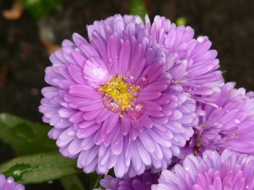aster garden aster flower