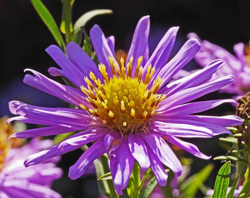 aster flower  purple  golden yellow