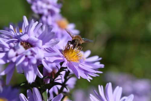 aster frikartii daisies aster
