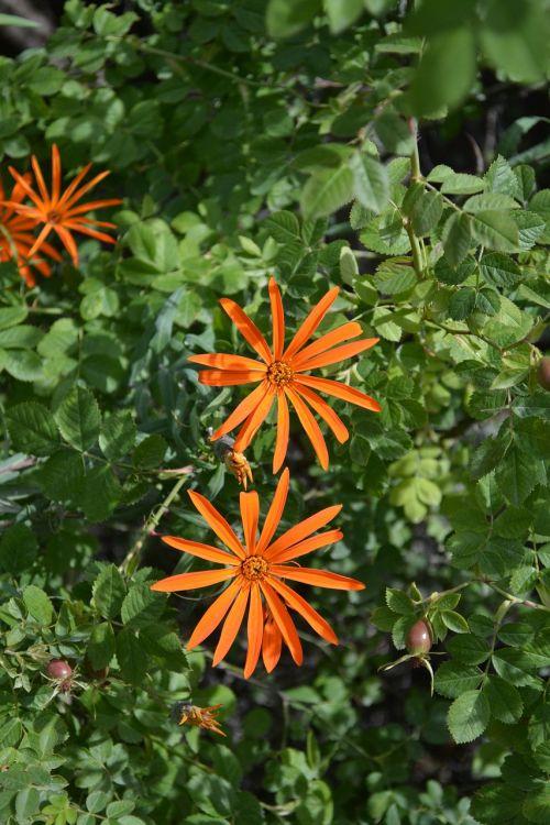 asteraceae mutisia flower