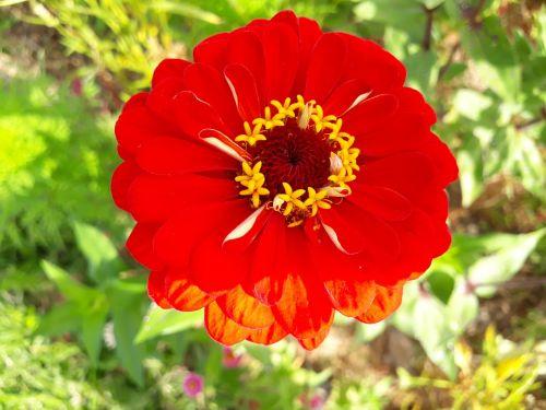 asteraceae dahlia red