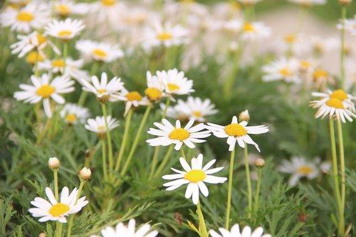 asteraceae  flower  flowers
